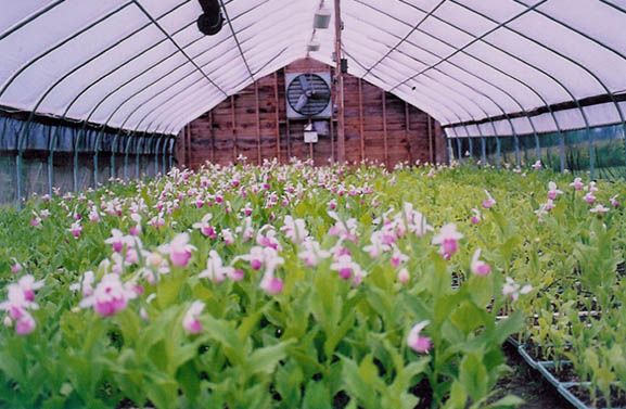 Greenhouse 2 Interior 2002 Cypripedium reginae in full bloom