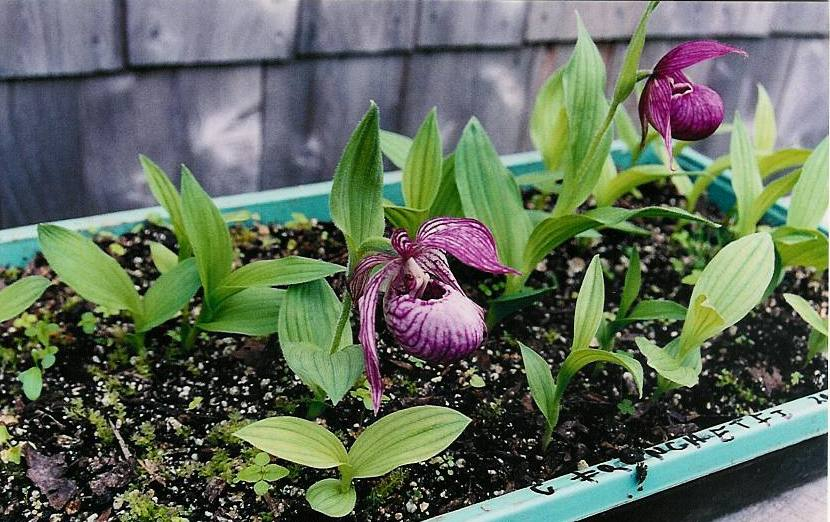 Cypripedium franchettii