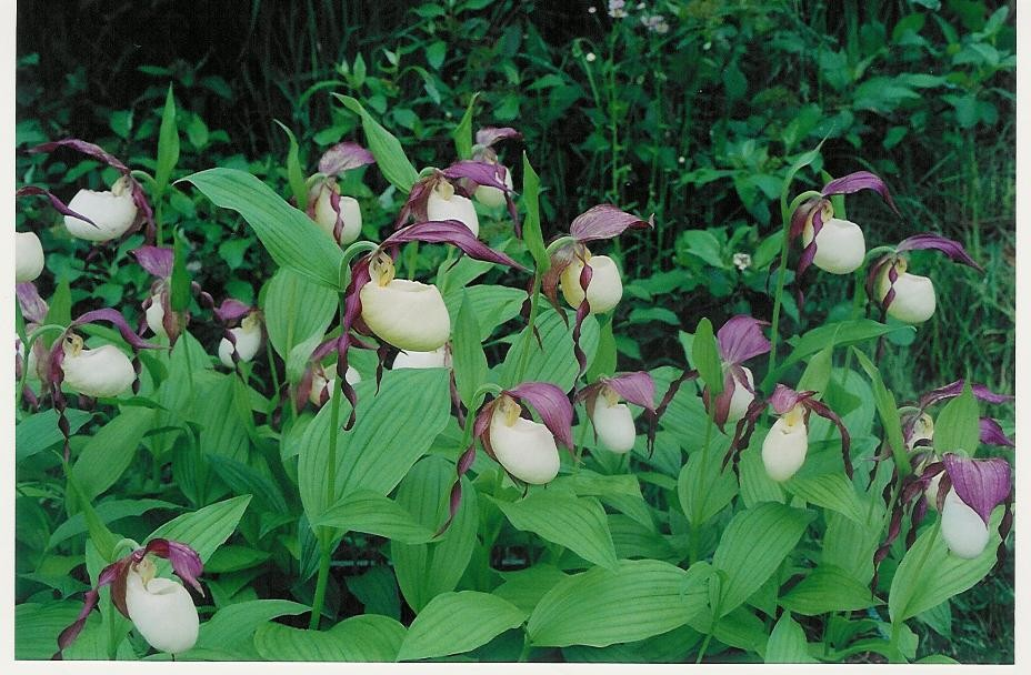 Cypripedium kentuckiense