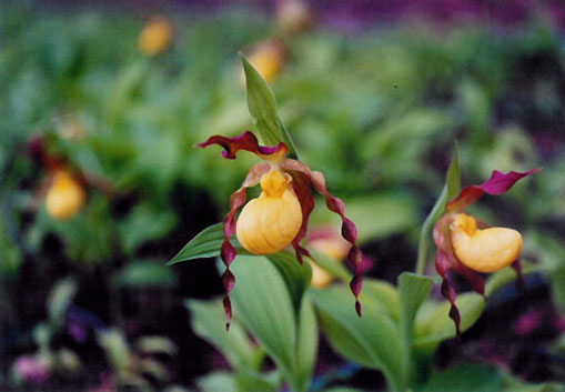 Cypripedium var. pubescens