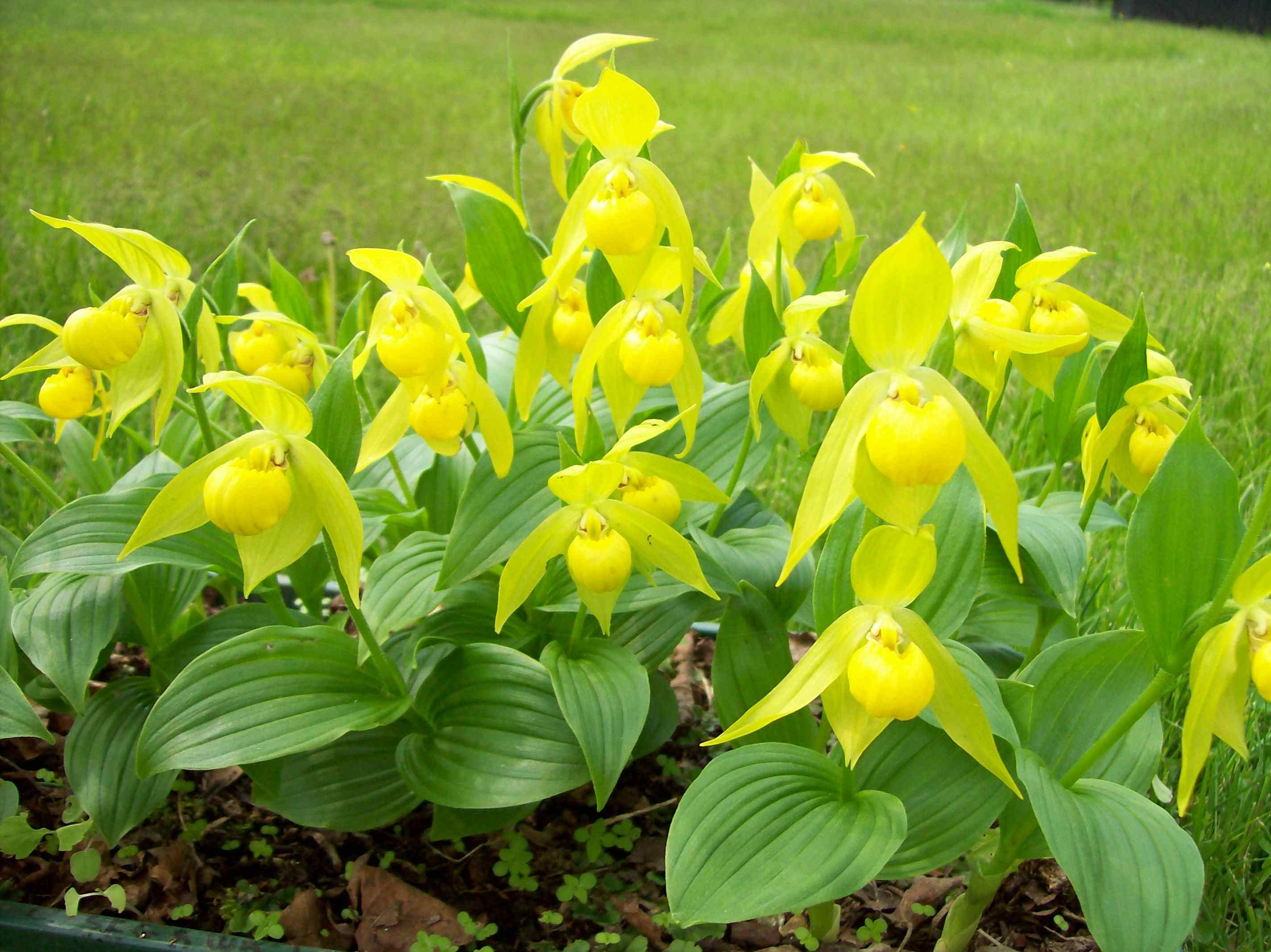 Cypripedium segawii